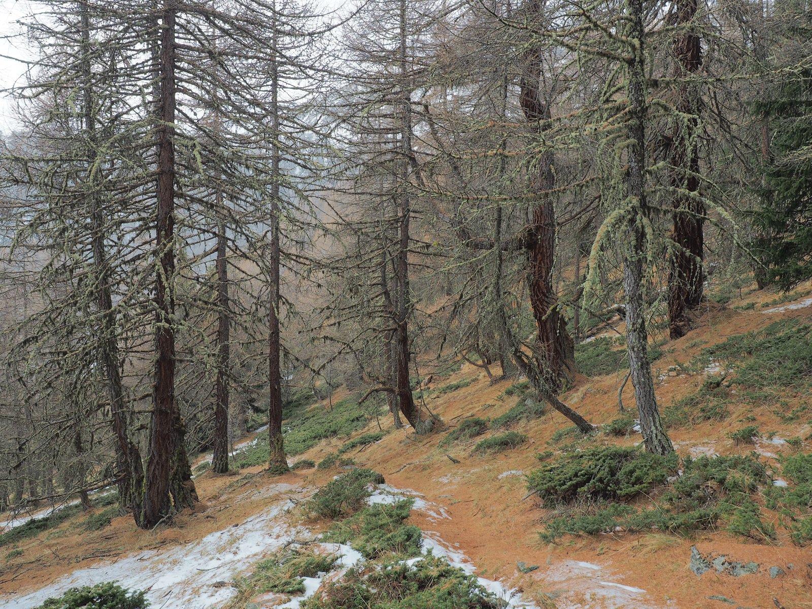 Il magnifico lariceto lungo il sentiero 11C
