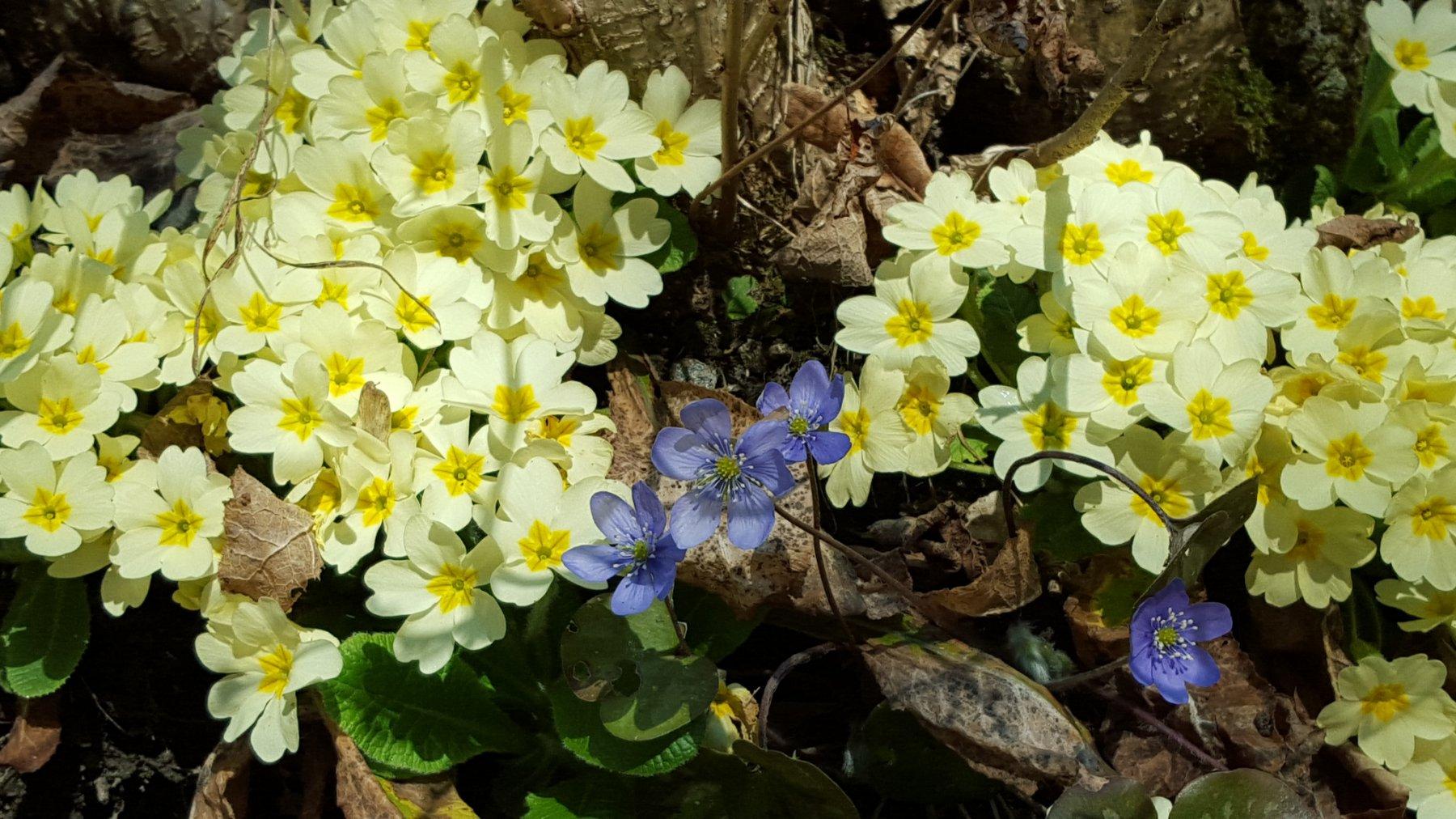 ... distese di primule altri fiori.