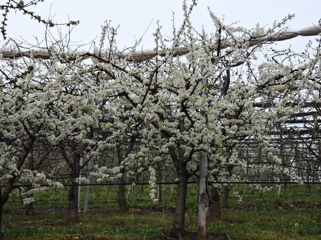 Frutteti in fiore