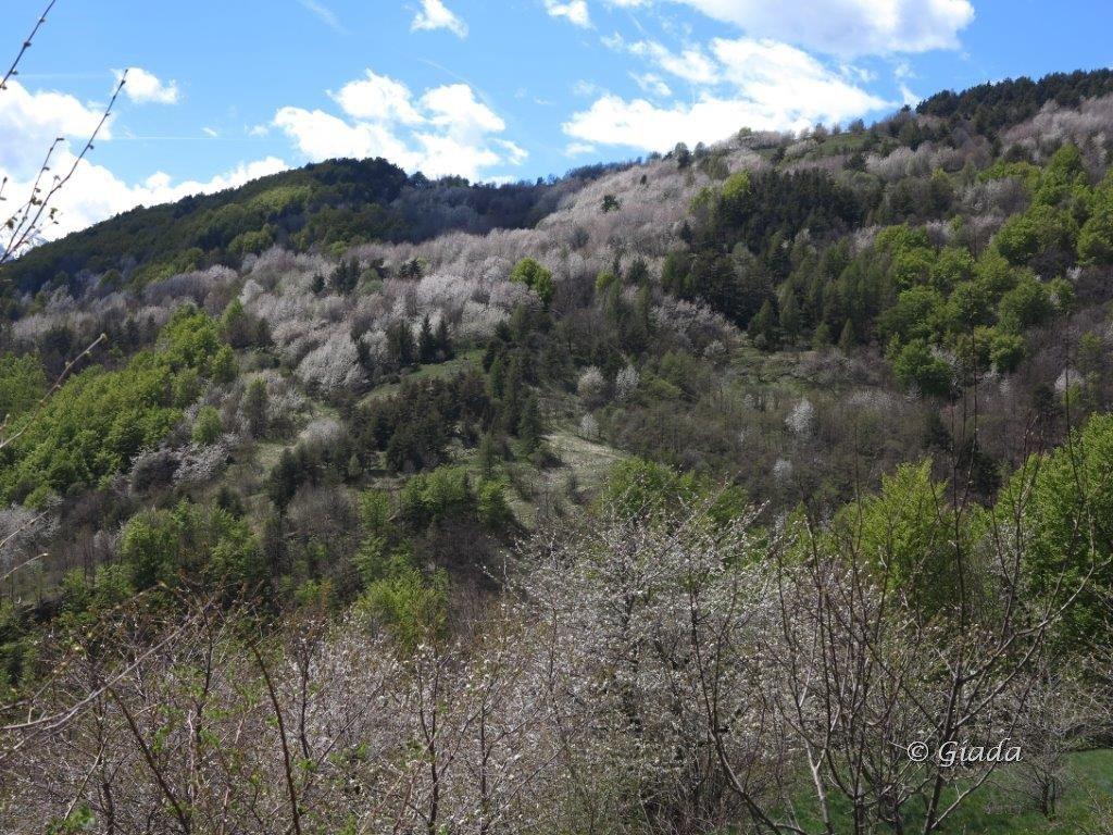 Le macchie bianche dei ciliegi risaltano tra il fresco verde