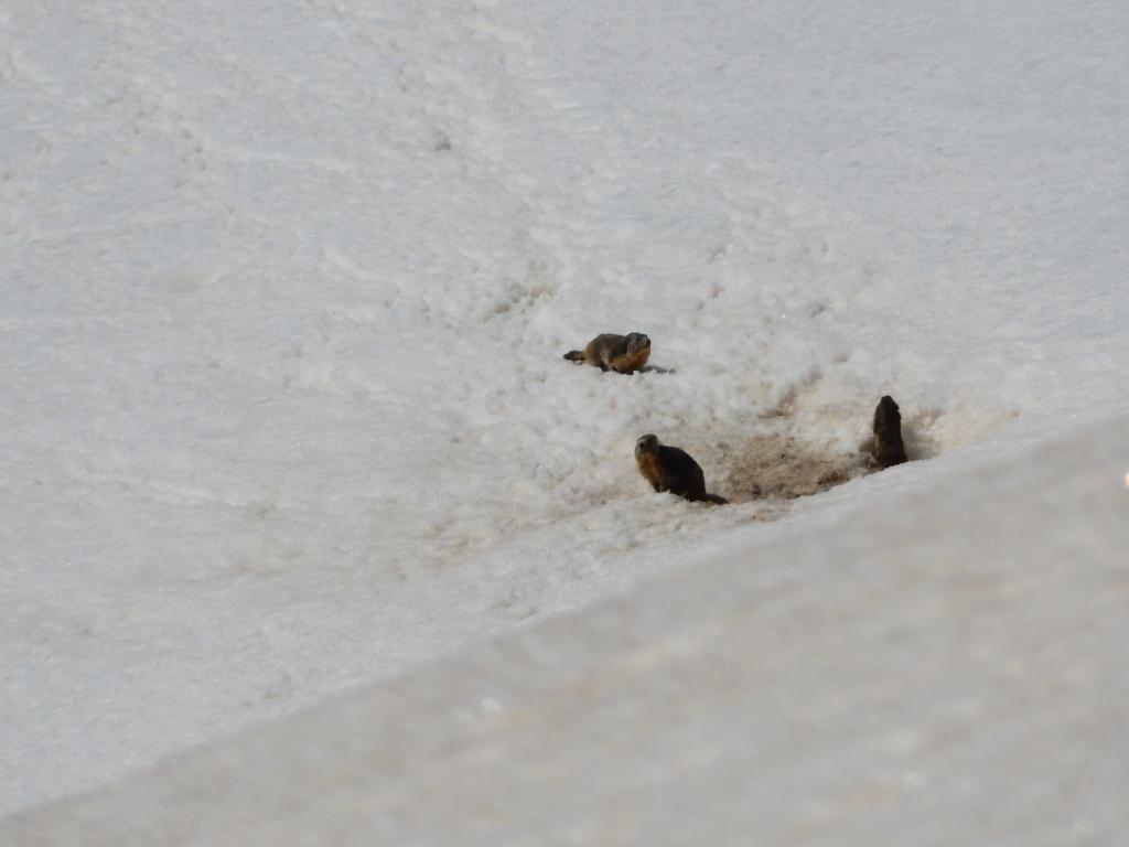 Marmotte gia sveglie