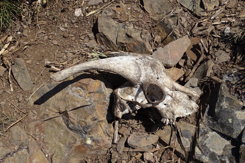 scheletro di capra
