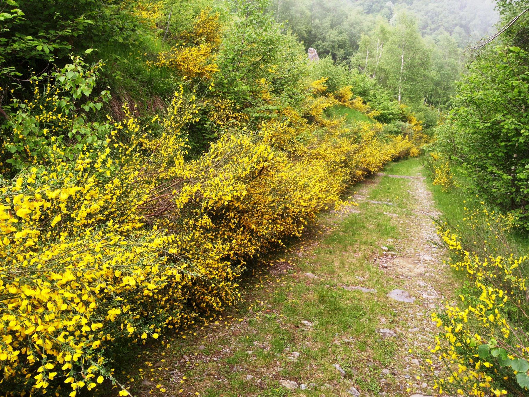 fioriture di ginestre lungo la strada del Musin