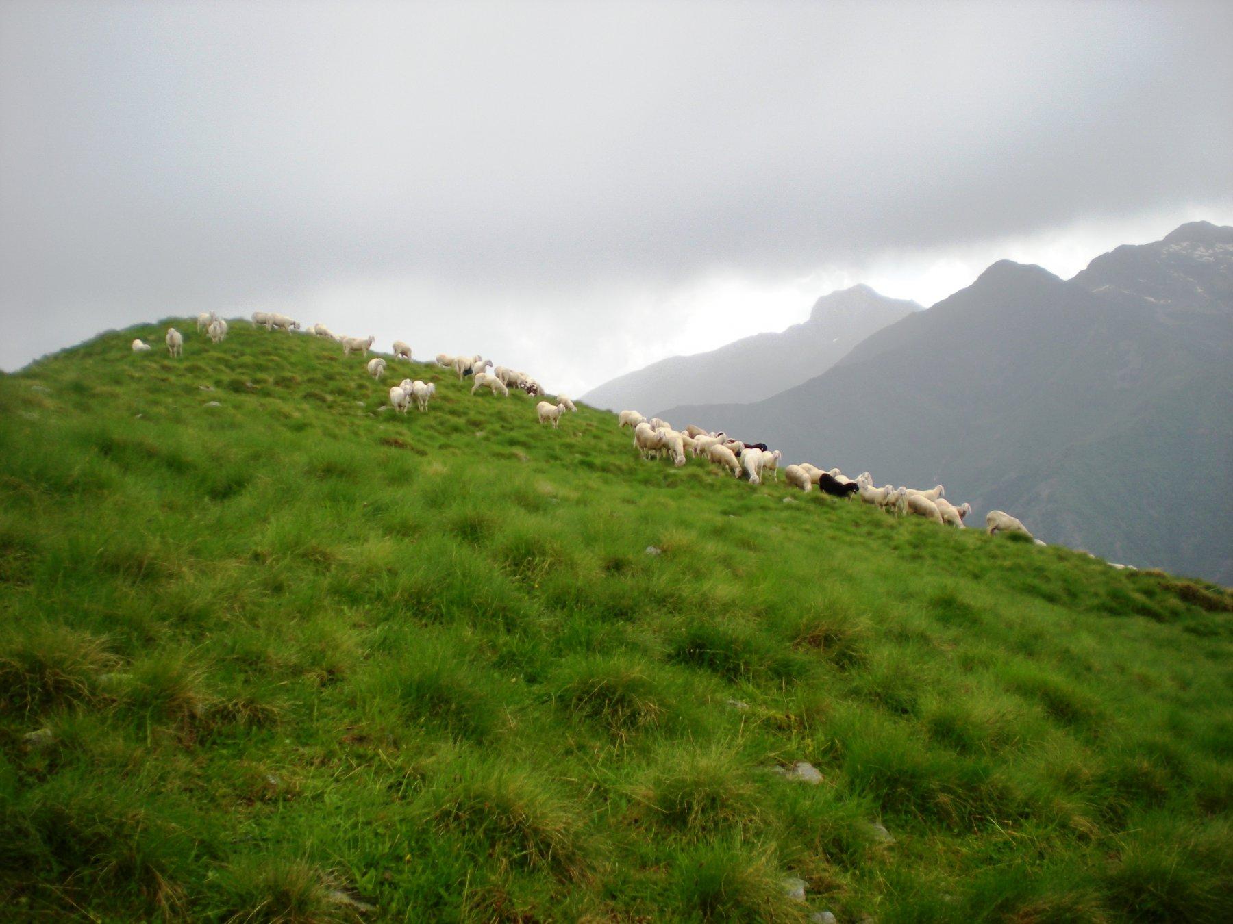 ....le pecore sul versante del Cervo ed il Mucrone all'orizzonte