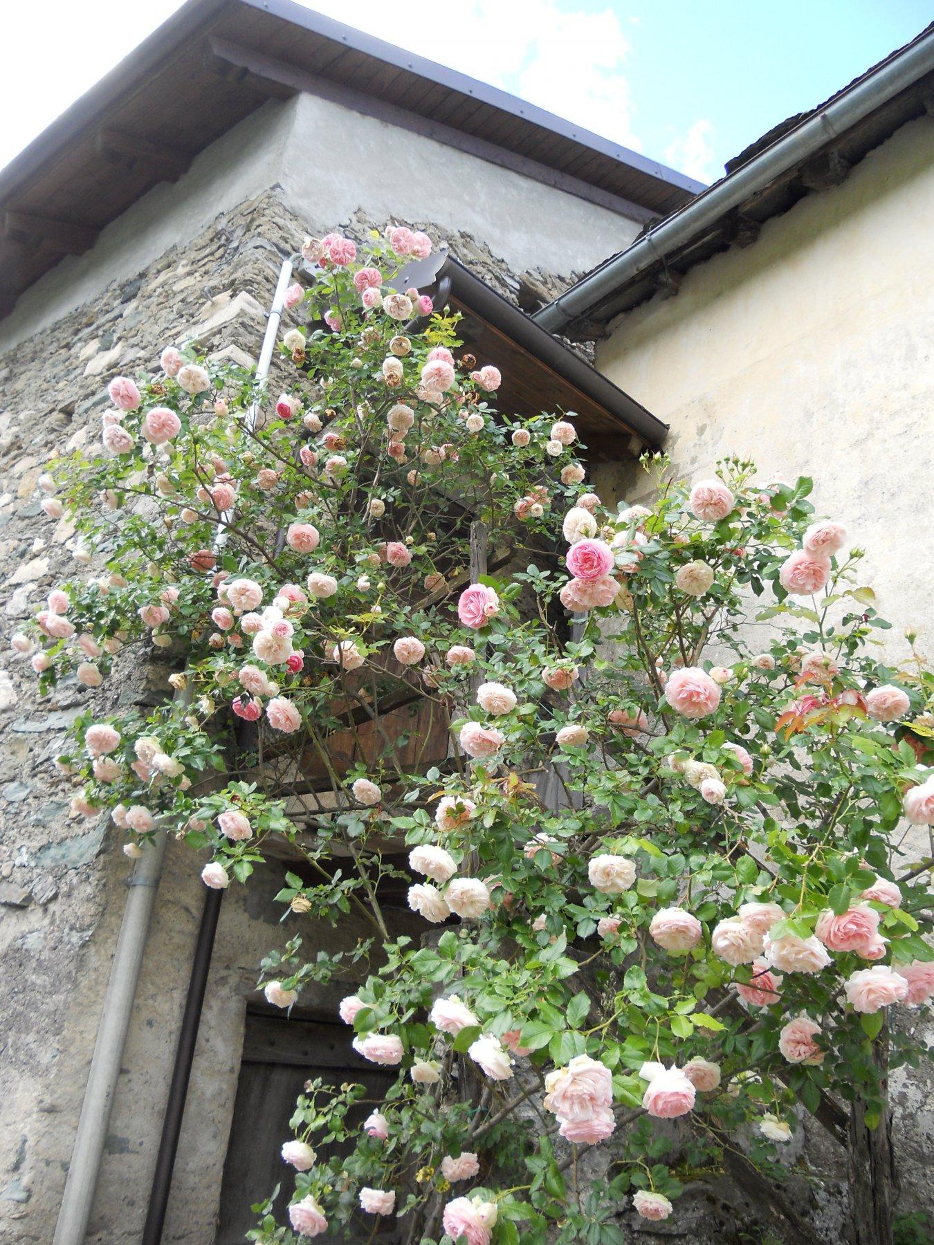 Rosa alla borgata Molé