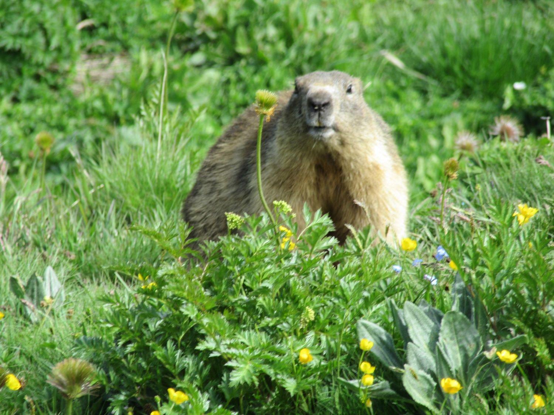 Una curiosa marmotta