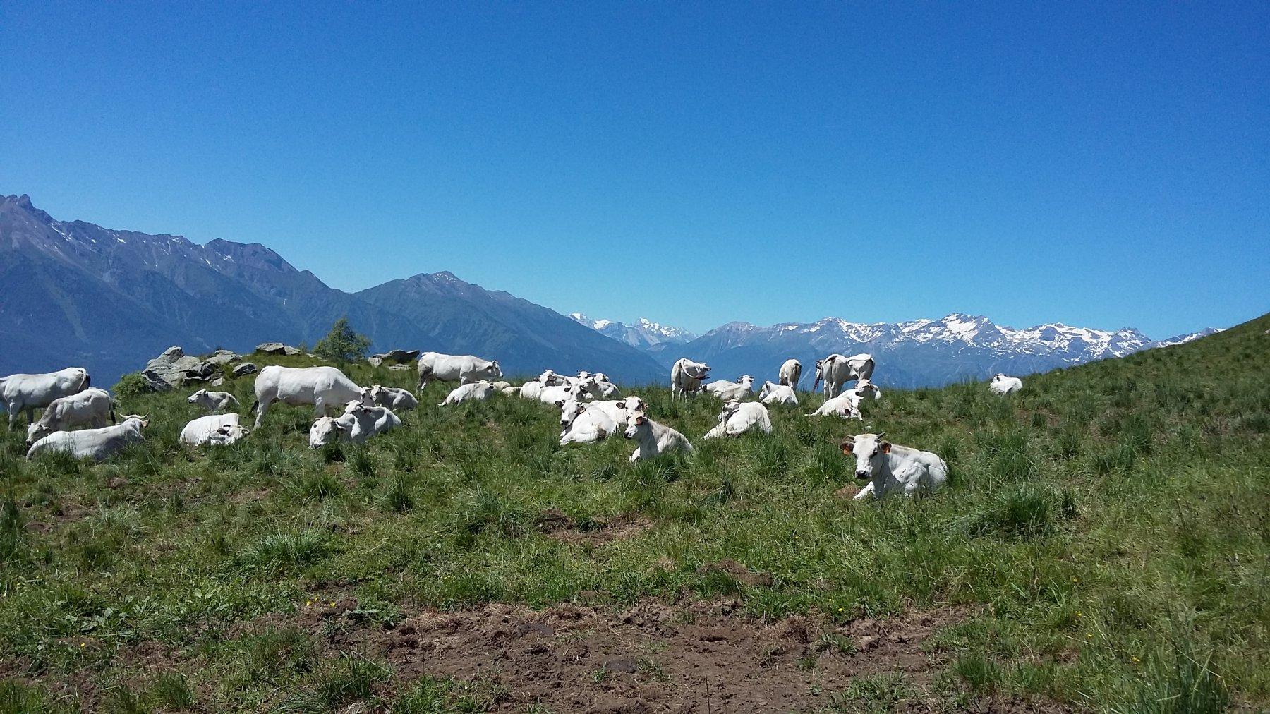 mucche e barre des ecrins sullo sfondo
