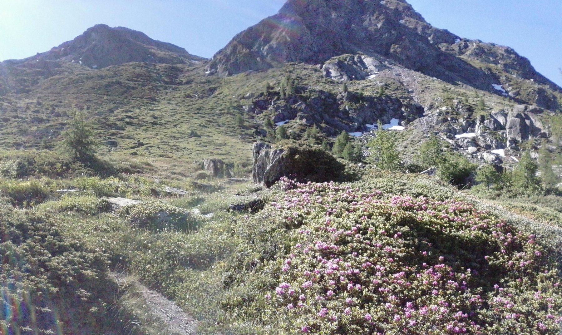 sul sentieron.6 all'incrocio col n.4...fioritura eccezionale di rododendri...