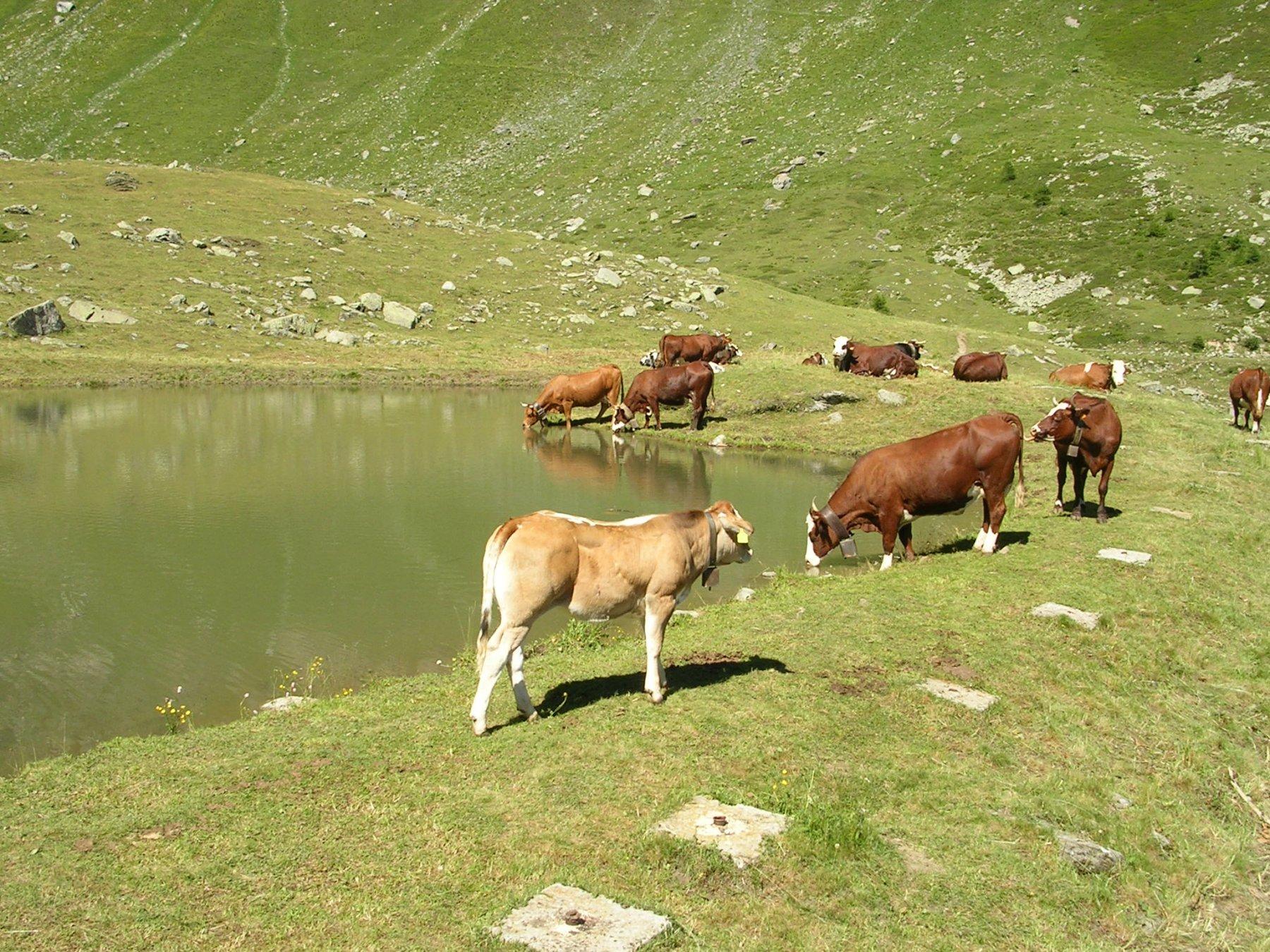 Mucche e laghetto vicino al rifugio