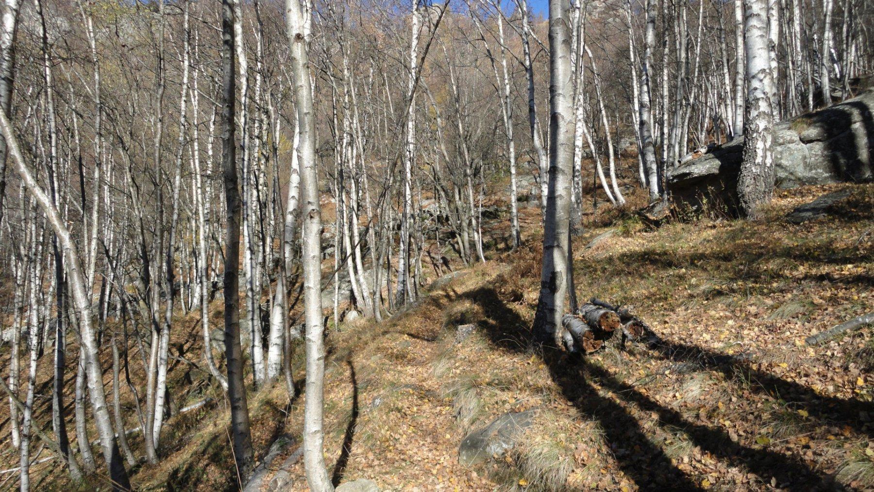 il sentiero proveniente da B.ga Bustera, dopo aver  superato una zona di grossi blocchi su cui è possibile praticare bouldering, volge a sx attraversando questo magnifico bosco di betulle.  Da qui, entro pochi minuti, si giunge alla base delle pareti
