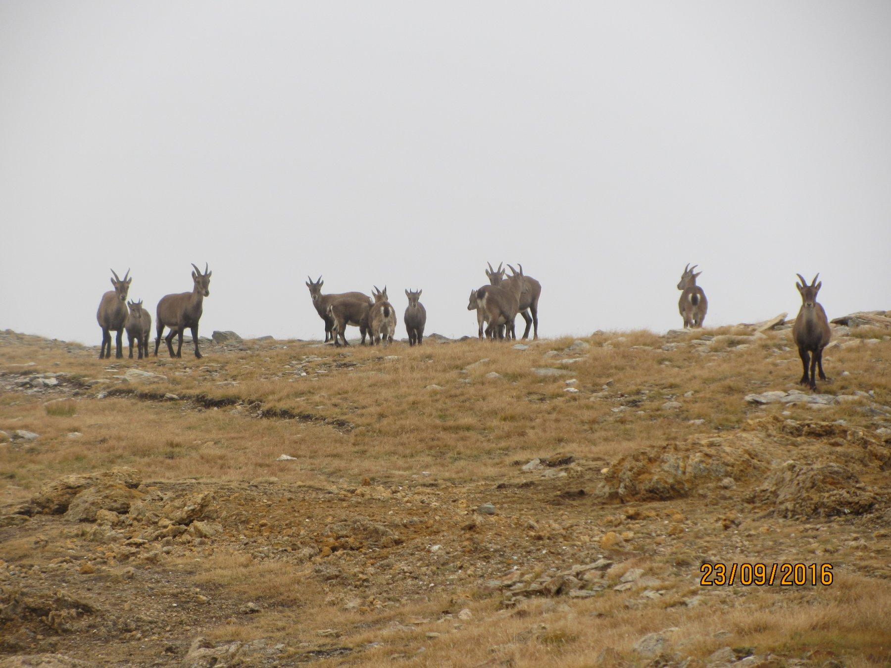 Camosci al Passo Clopaca
