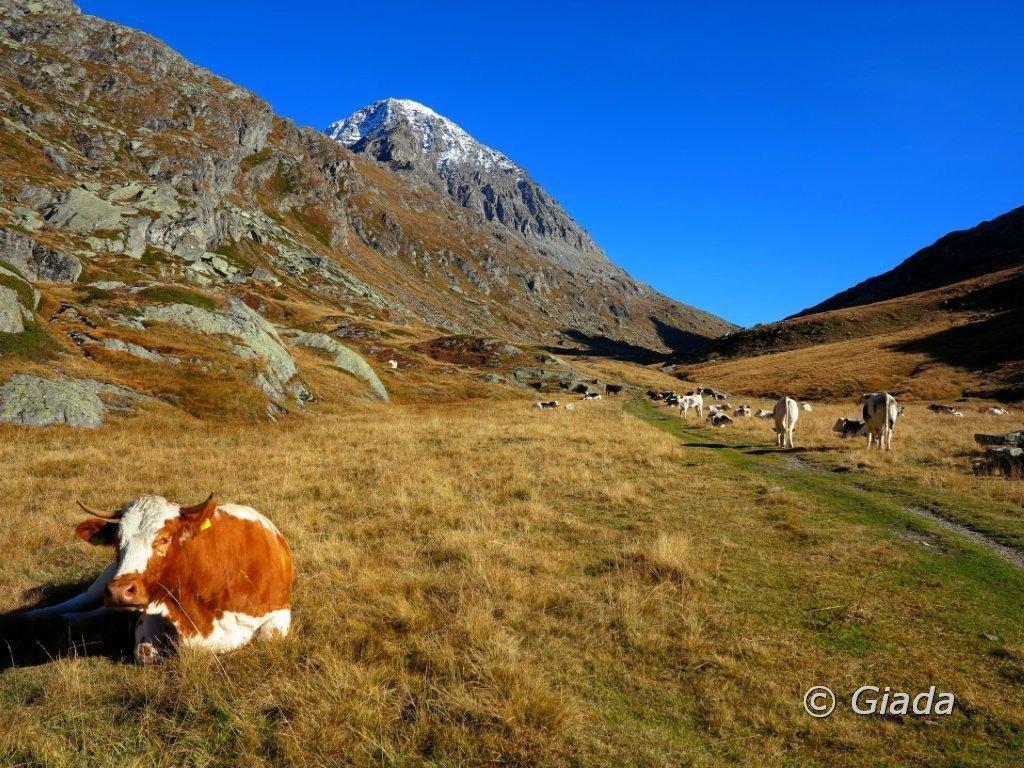 Bellissime e tranquille mucche alle Grange Savine
