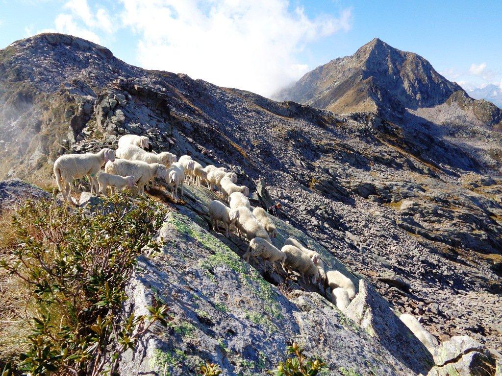 le pecore in cresta