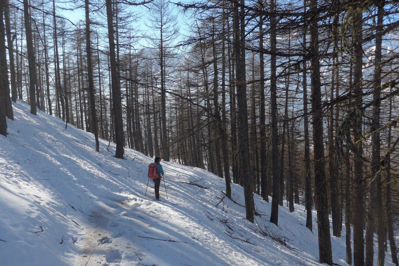 Scendendo nel bel bosco di larici