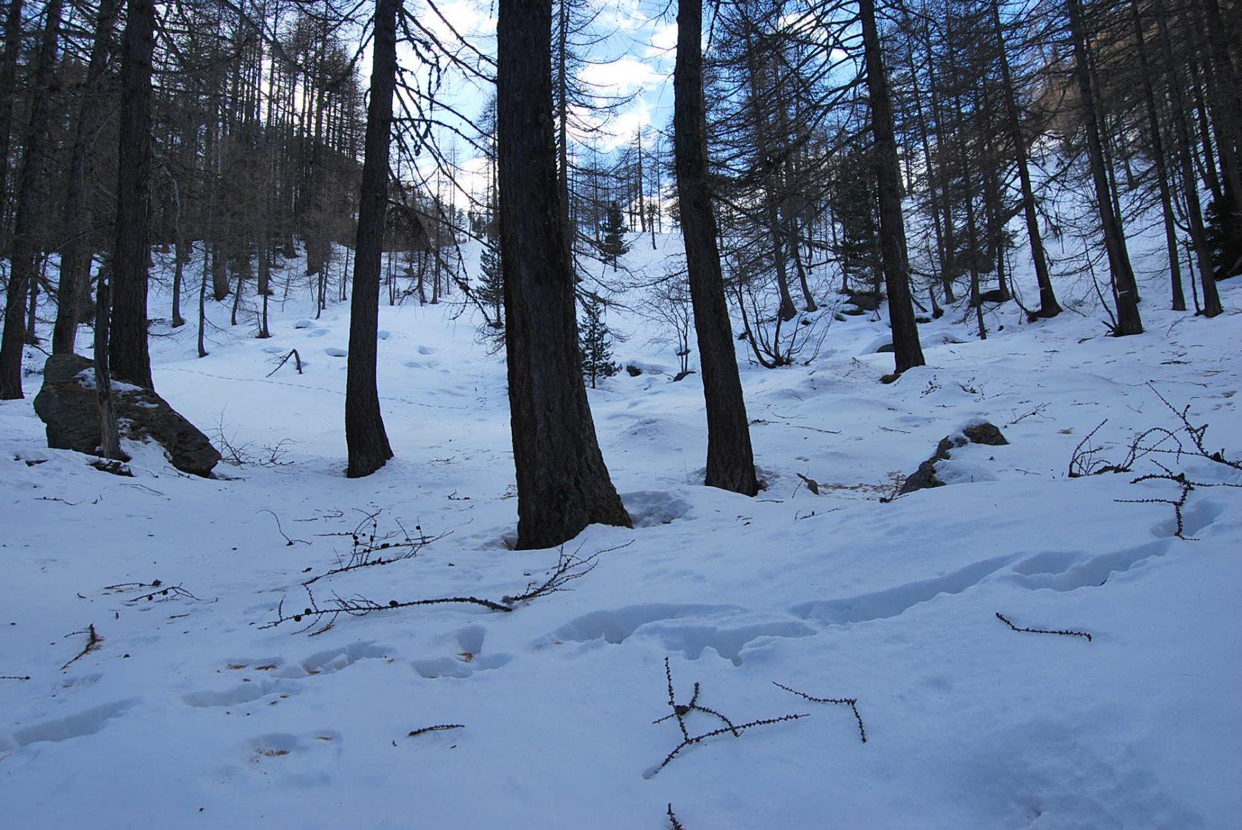 Il punto di ritorno, all'uscita dal bosco, dove la neve è alta ed il sentiero scompare. Gli alpeggi sono sul pianoro appena più avanti