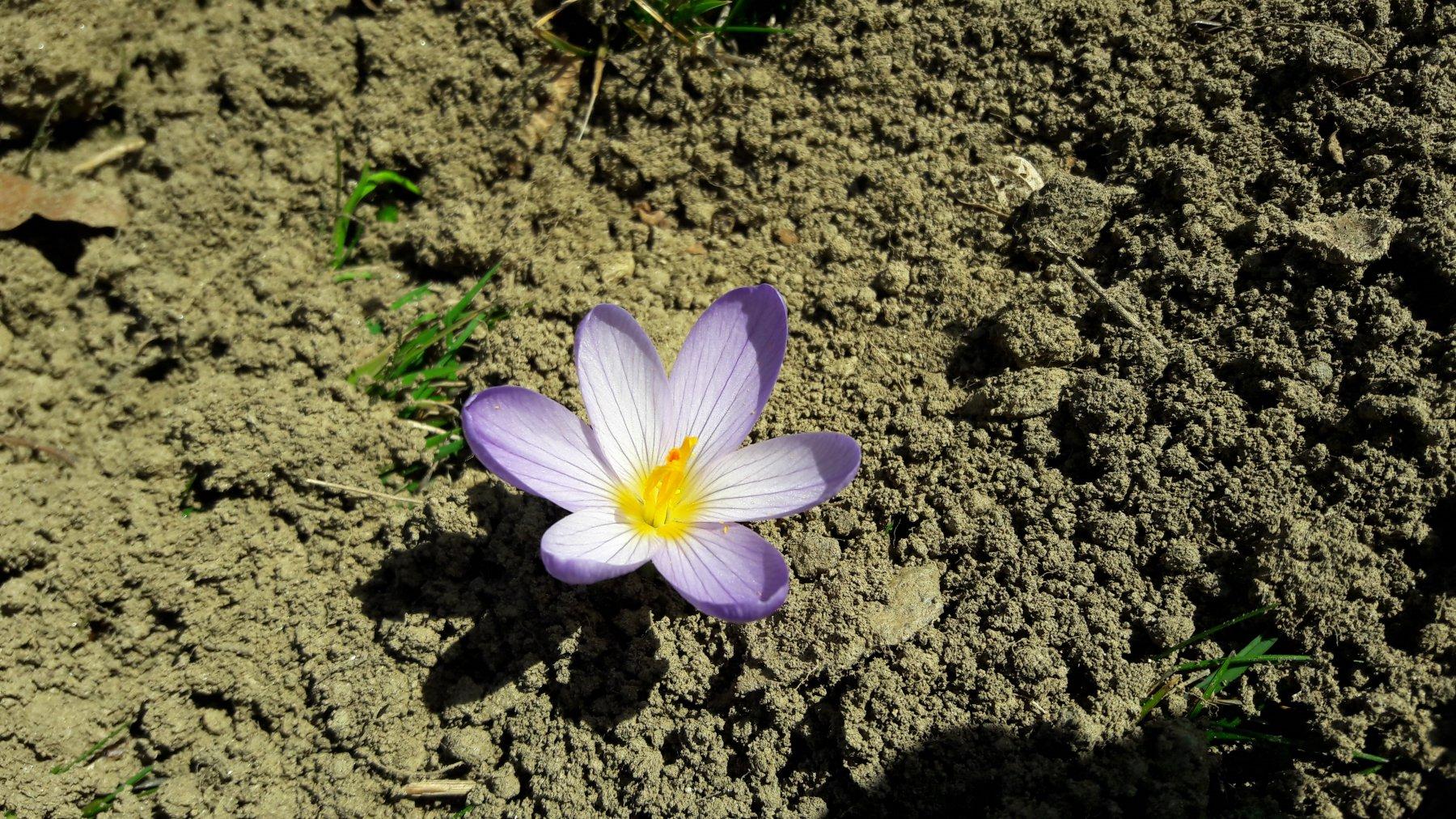 Croco fiorito