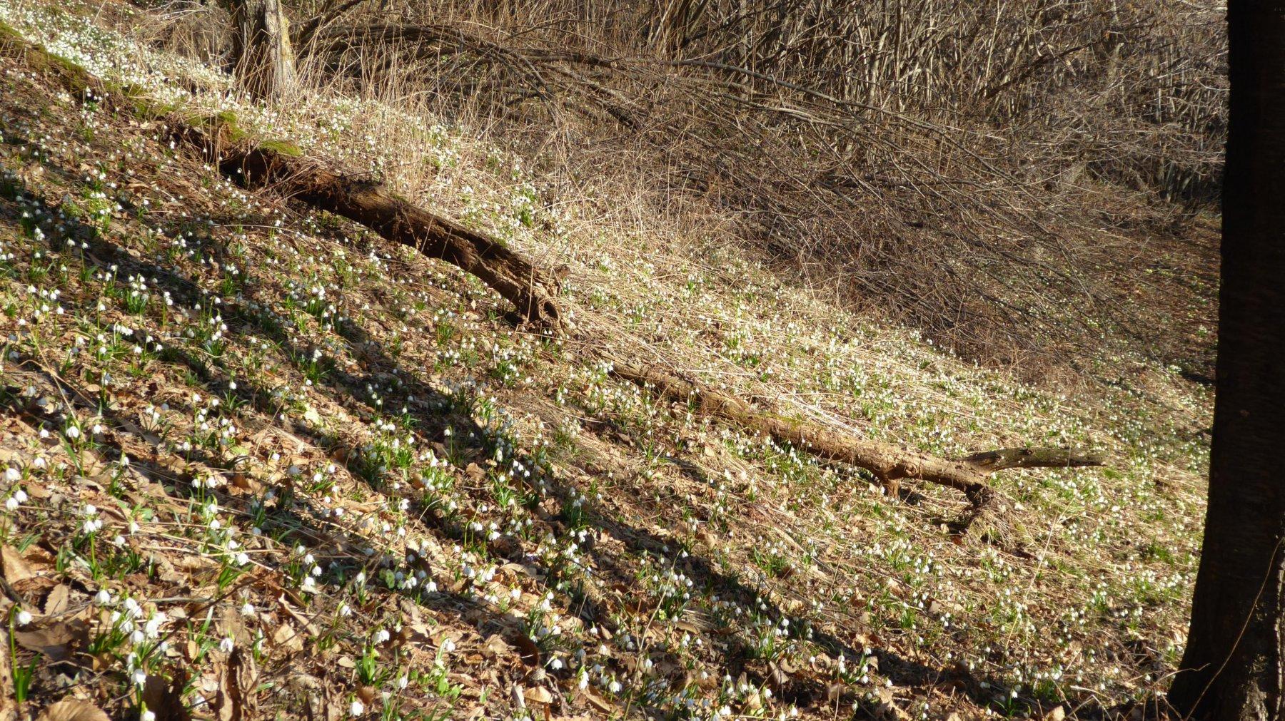 Prato fiorito di bucaneve, a Chichee