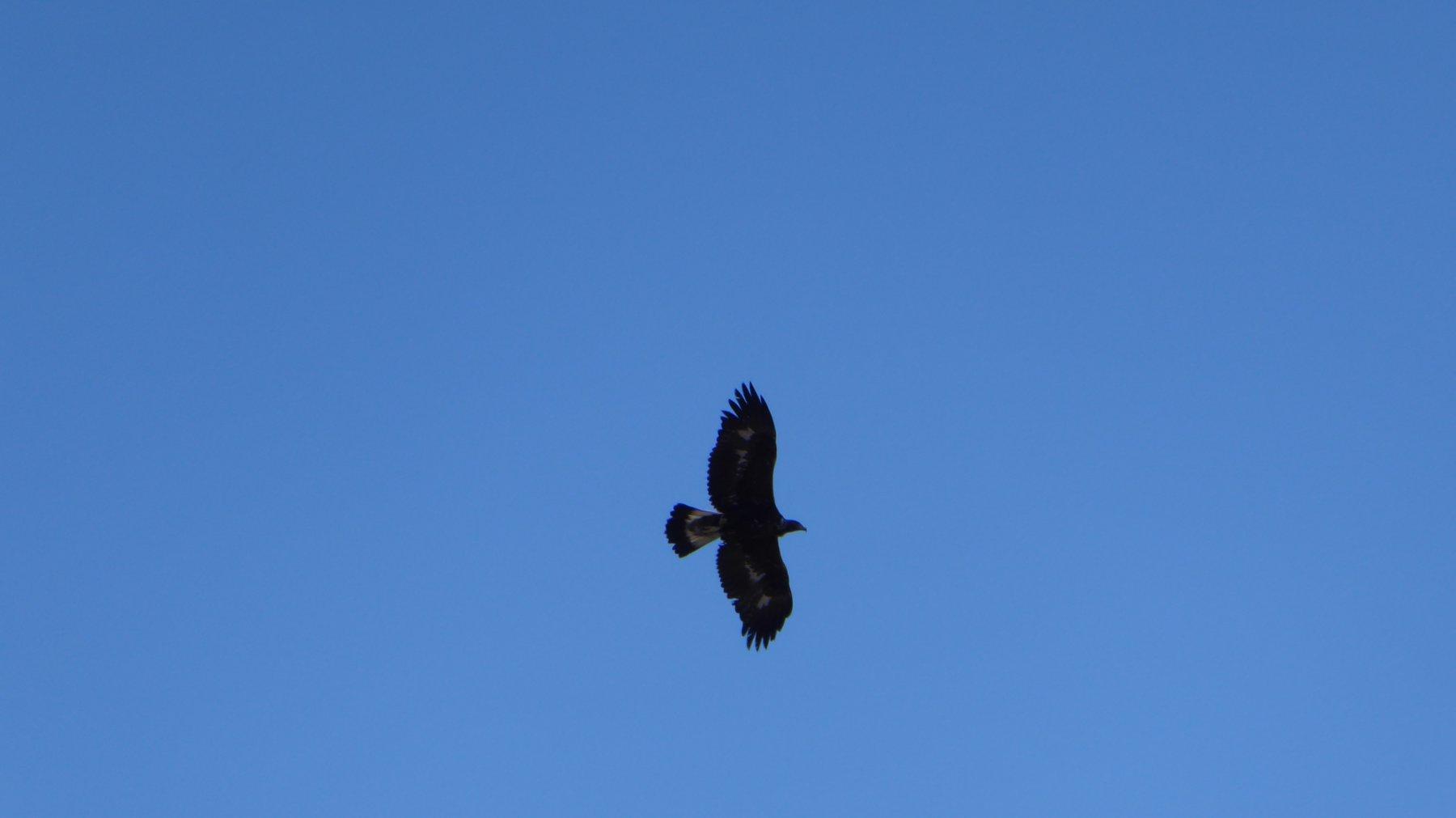 Una delle tre aquile in volo