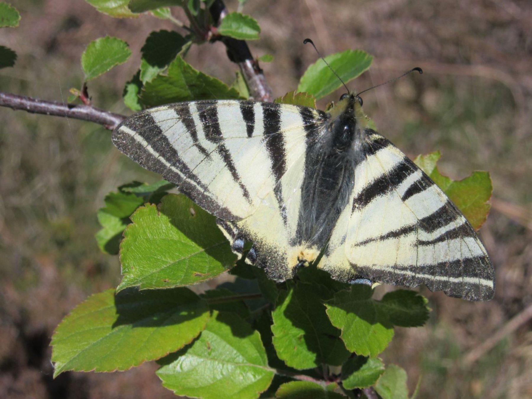 farfalla juventina