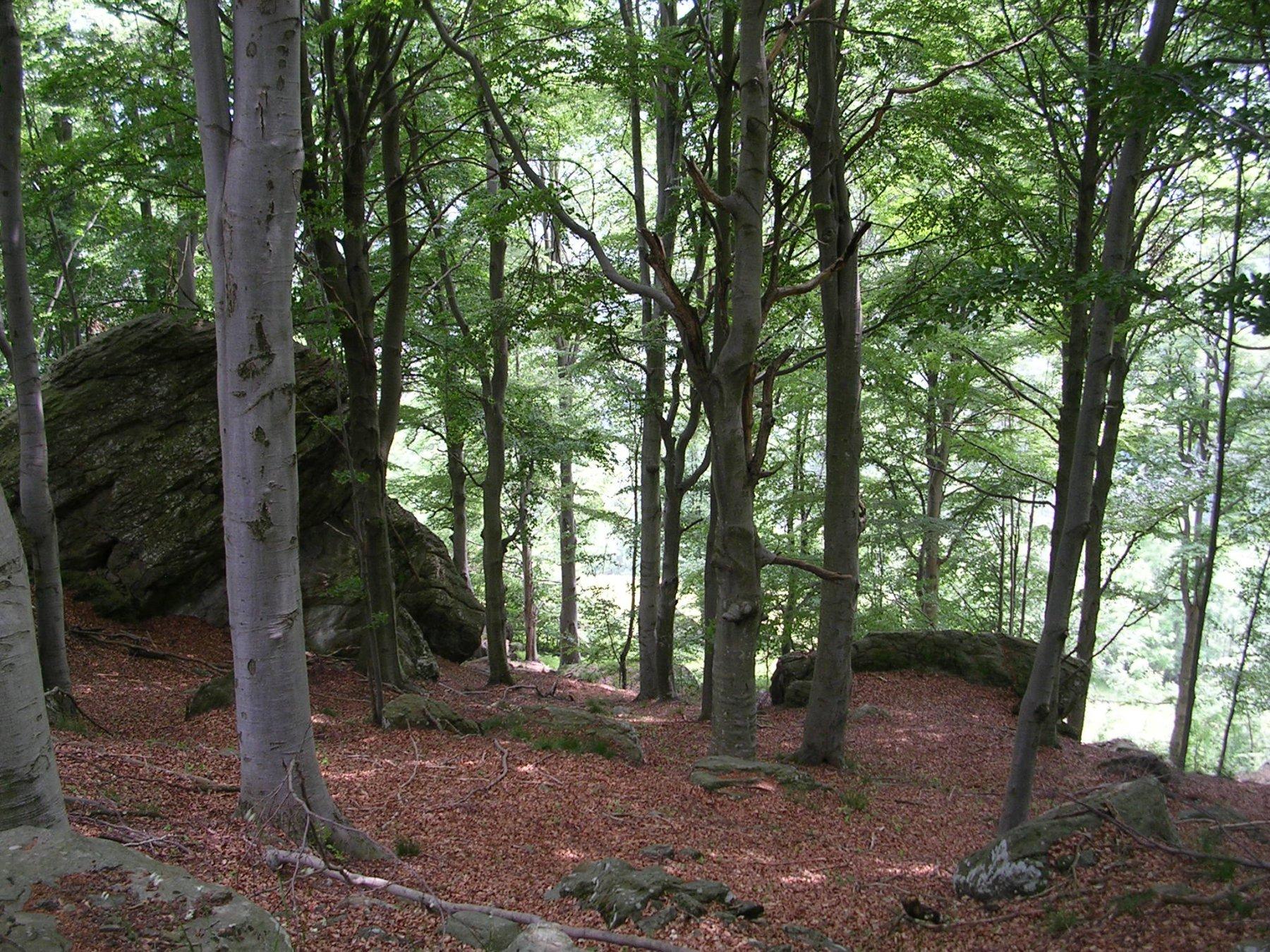 Il bosco di faggi