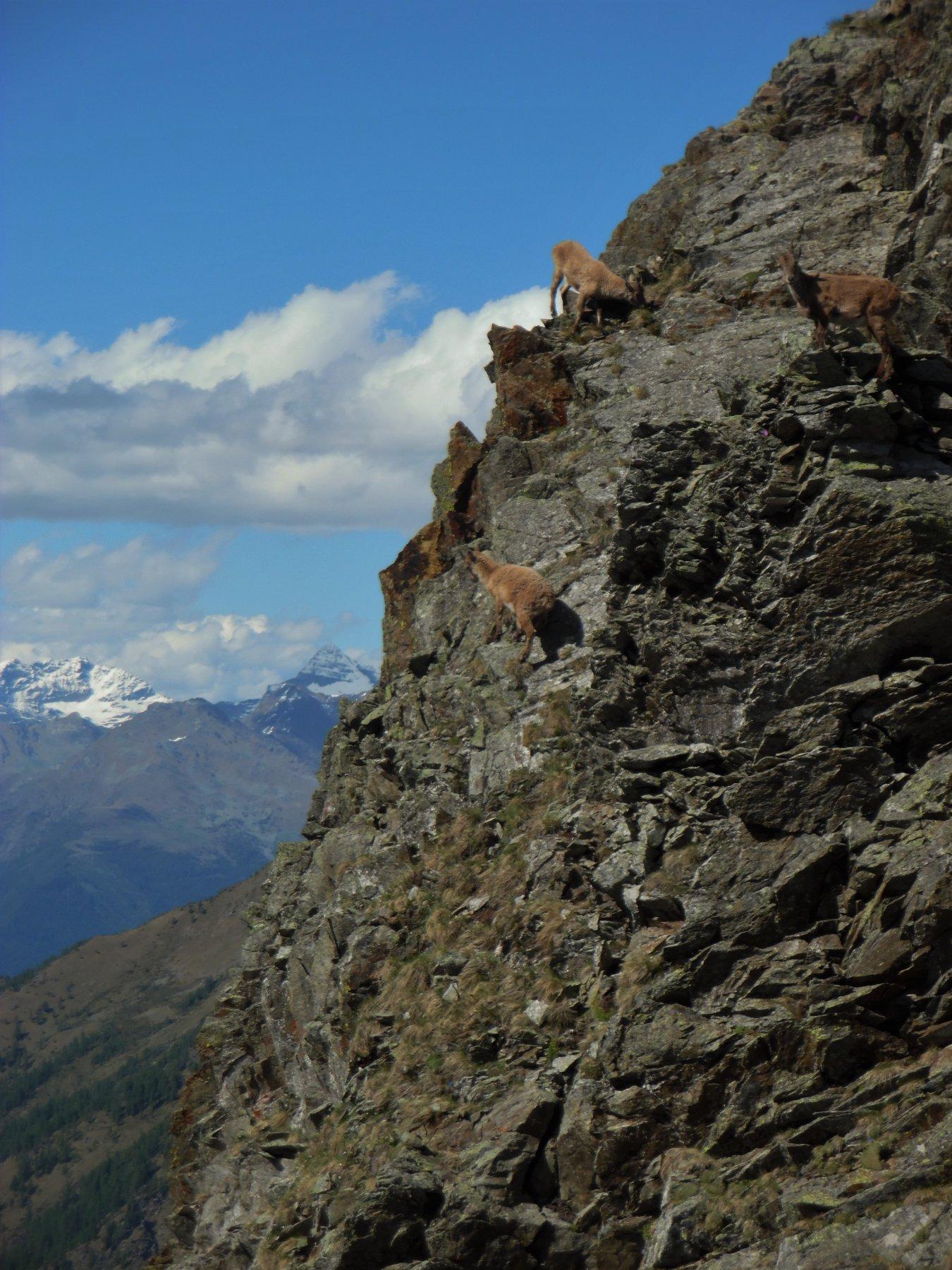 Stambecchi al Passo di Publino 2368 m