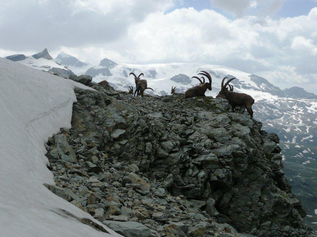 Stambecchi intorno quota 3070 m sotto il primo nevaio che porta al canalino.