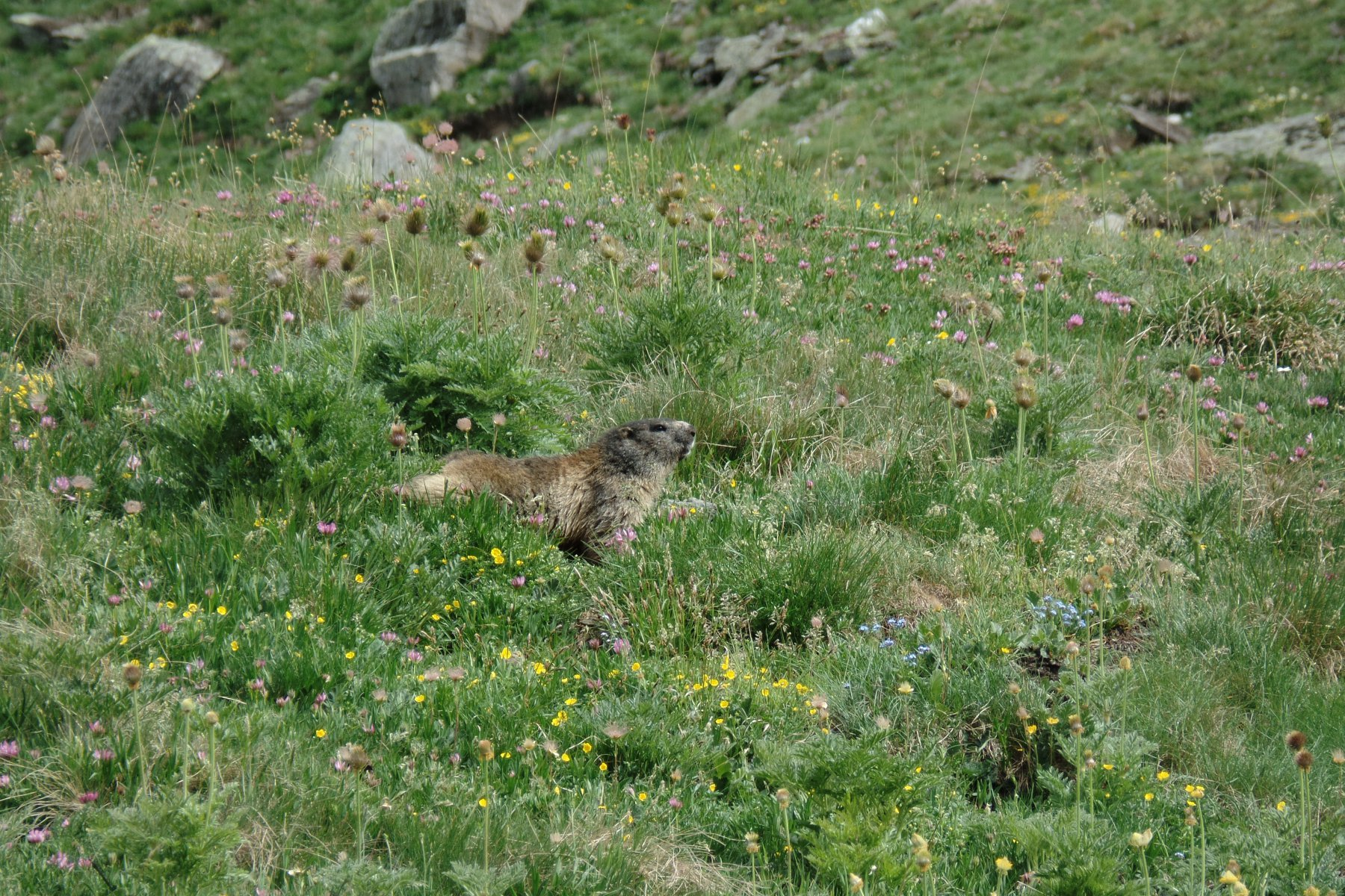 nella valle delle...marmotte