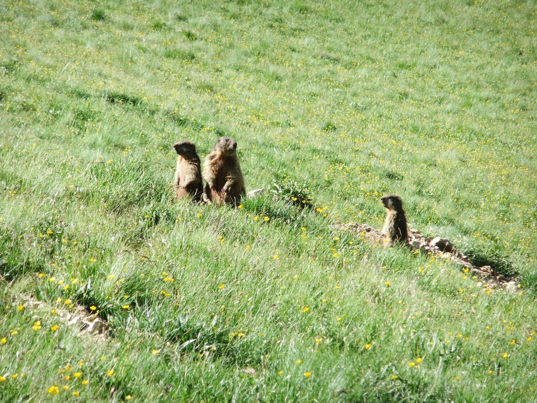 Famigliola di marmotte