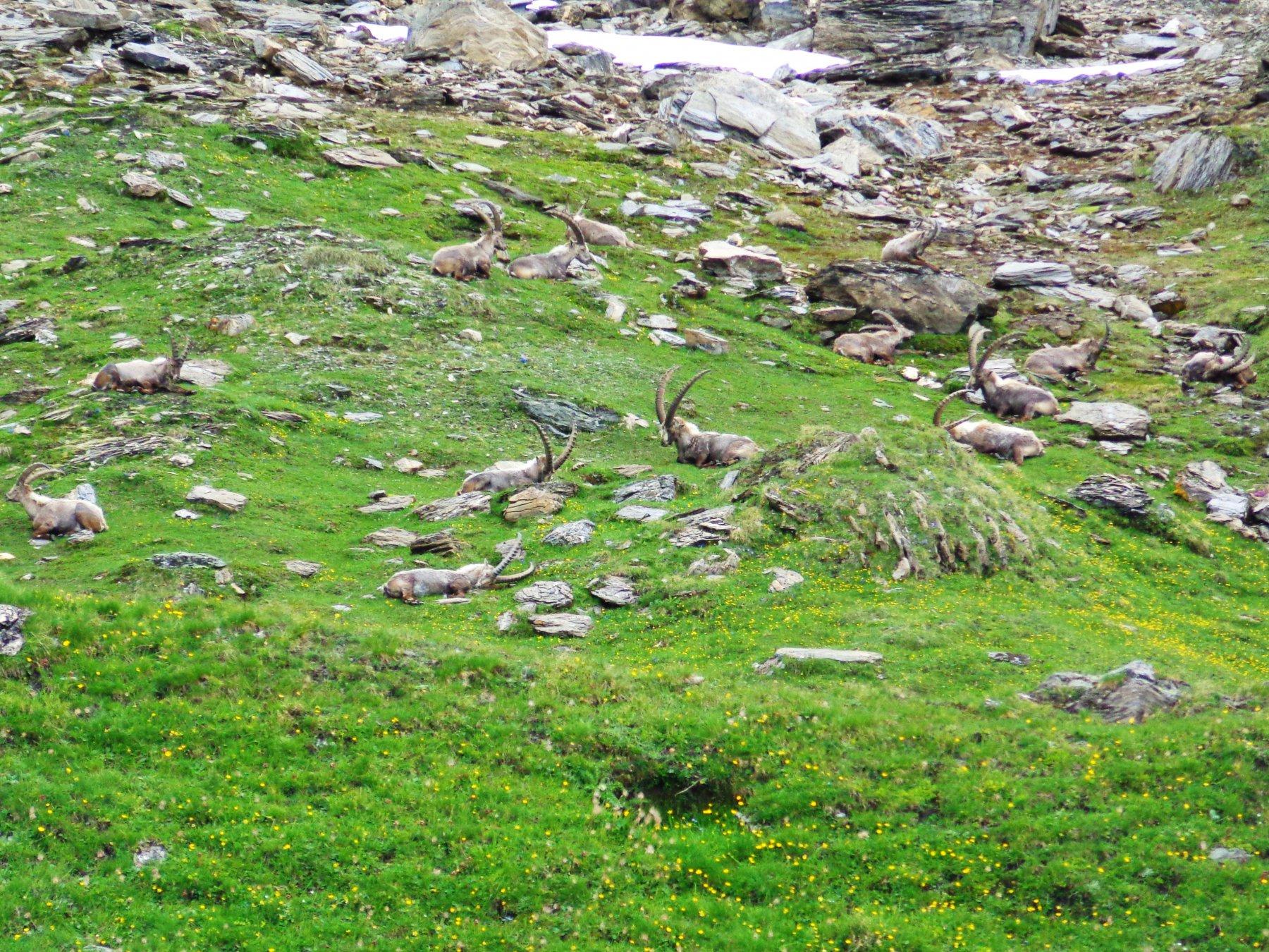 Stambecchi vicino al lago