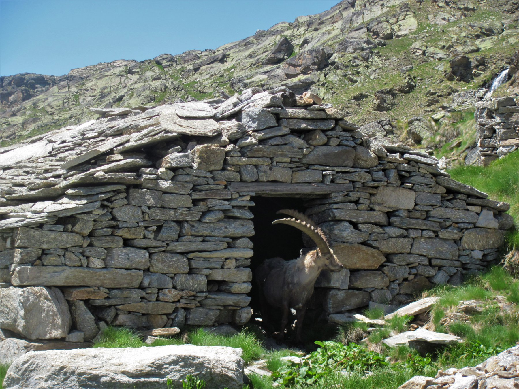 stambecco anziano esce (!) dall'Alpe Comba, poco sopra il sentiero