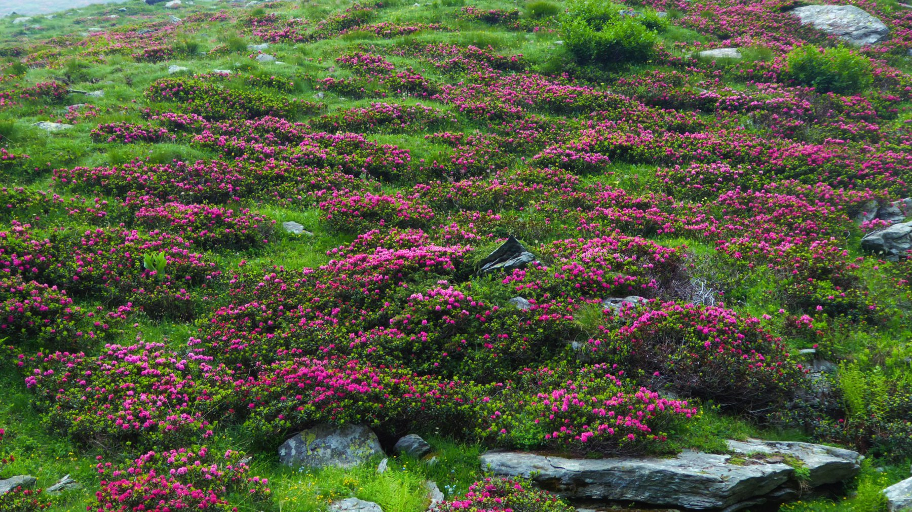 Bellissima fioritura di rododendri