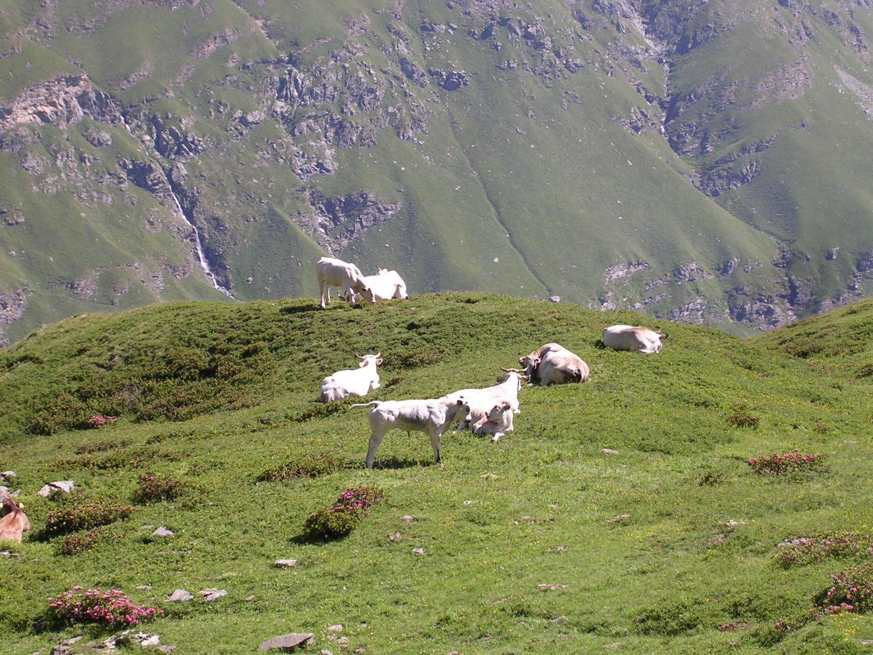 Mucche tranquille