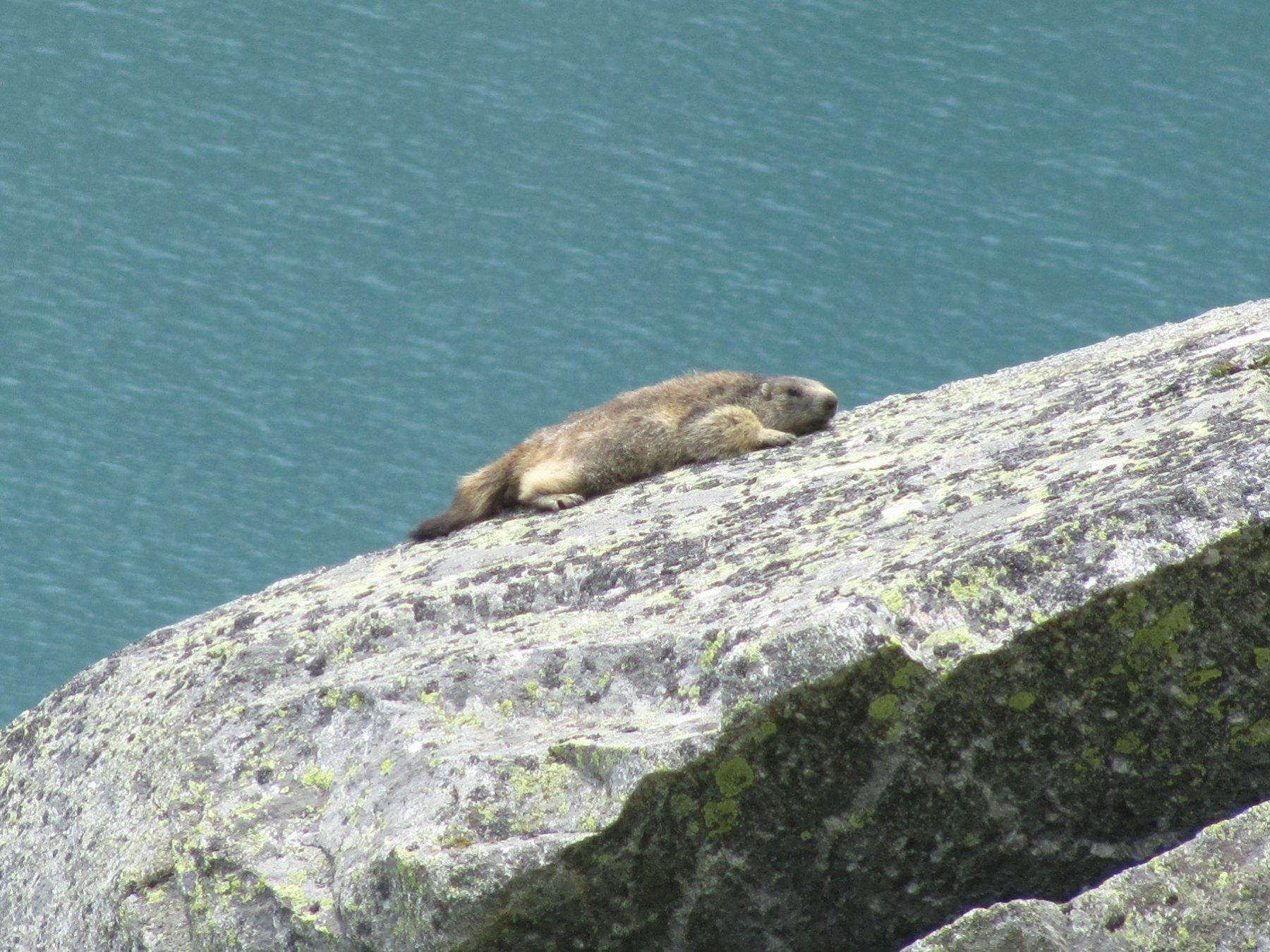 marmotta che si crogiola al sole, sopra il lago