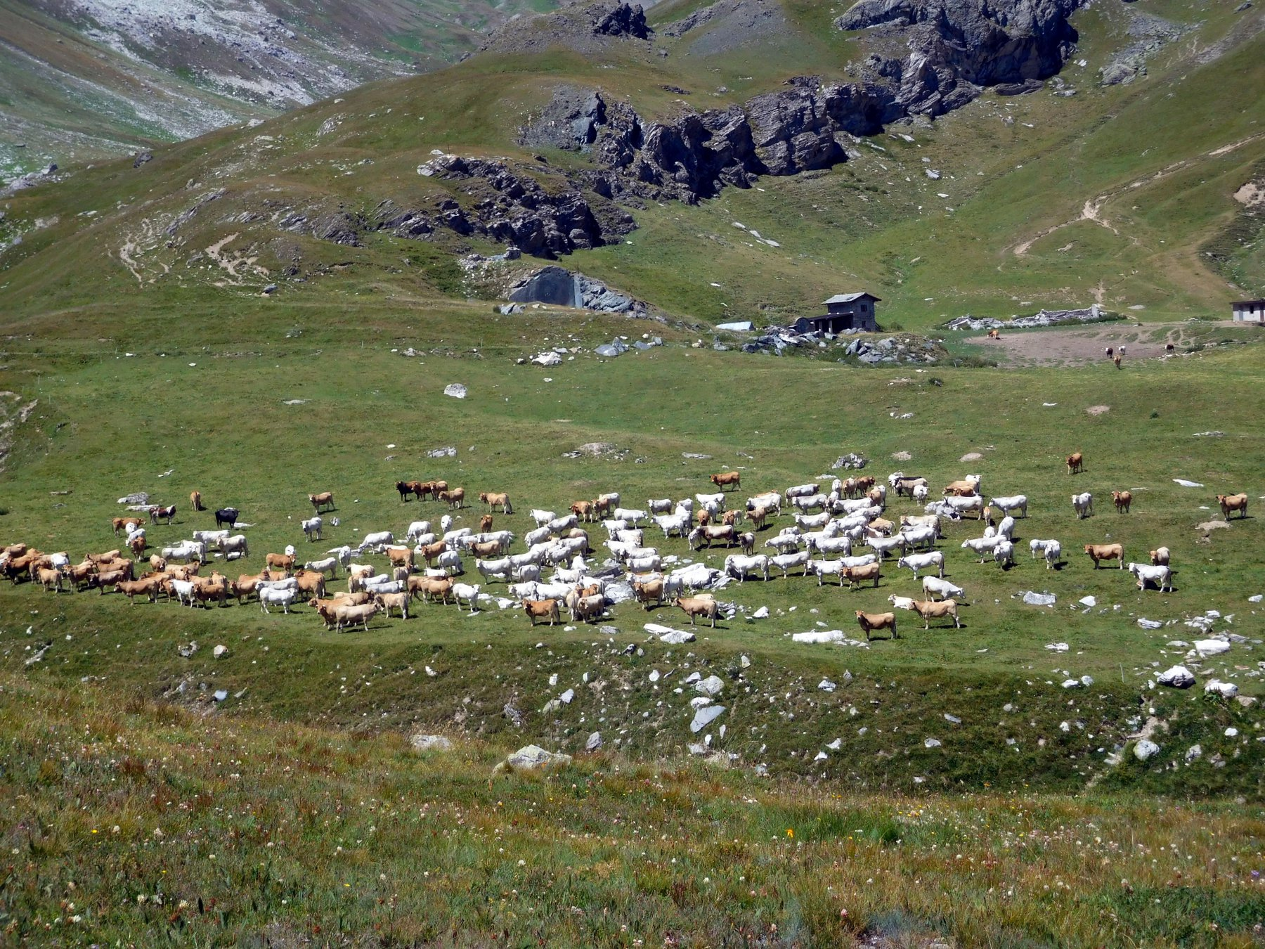 pascolando in valle Traversiera