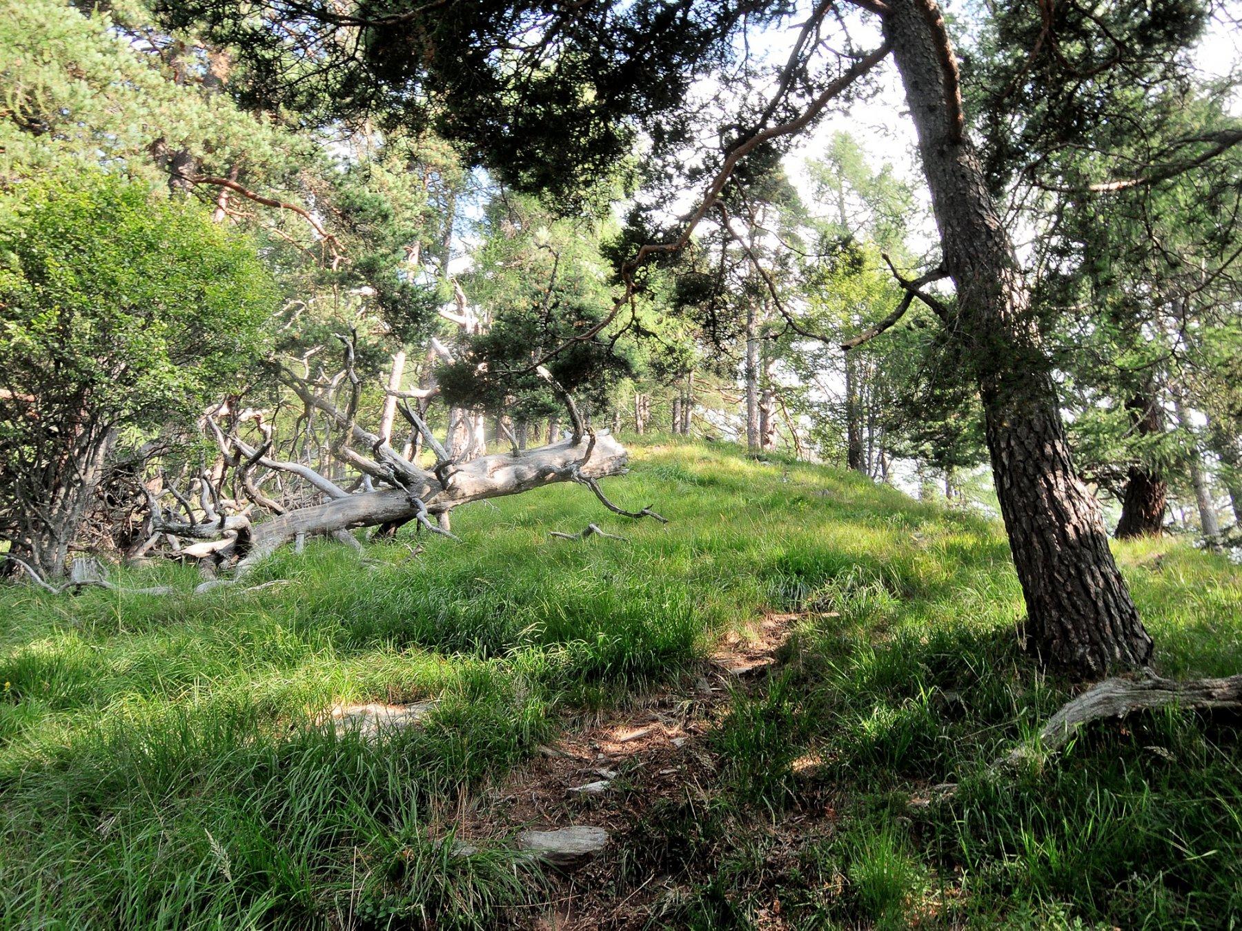 Tratto boscoso della cresta a monte dell'Alpe Gora