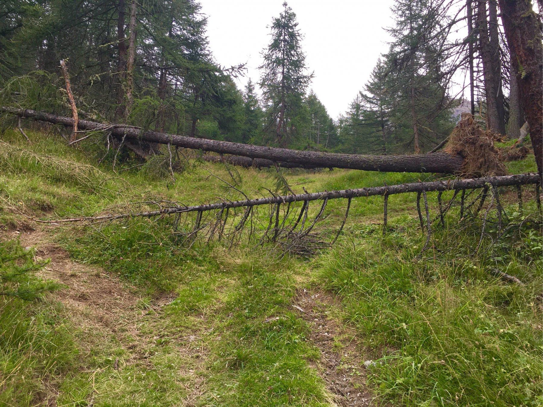 uno dei tanti alberi crollati