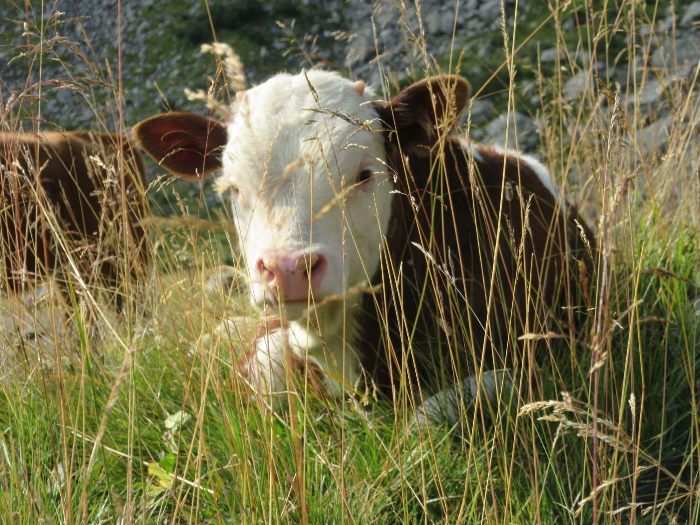 Un vitellino ci osserva