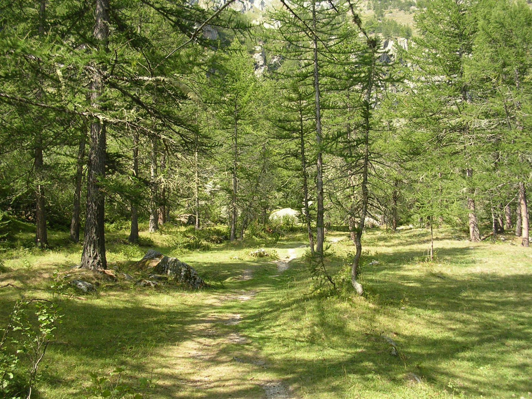Il bosco di larici poco sopra al rifugio Levi