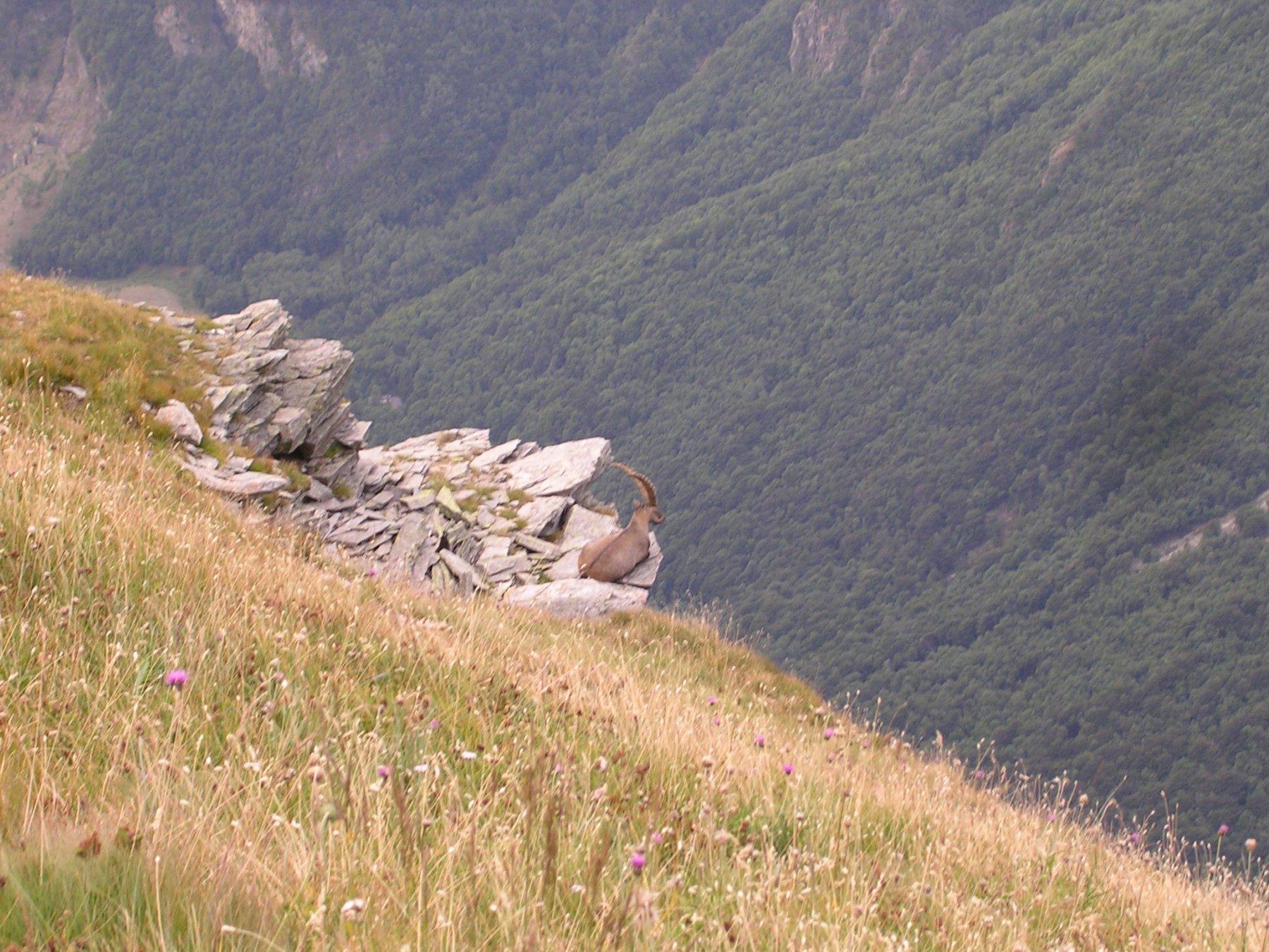 Stambecco in un punto panoramico