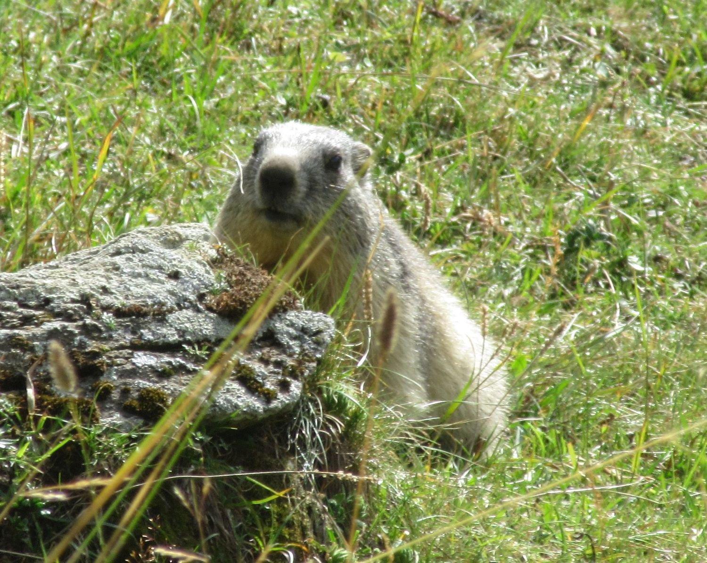 Una delle tante marmotte attorno al rifugio