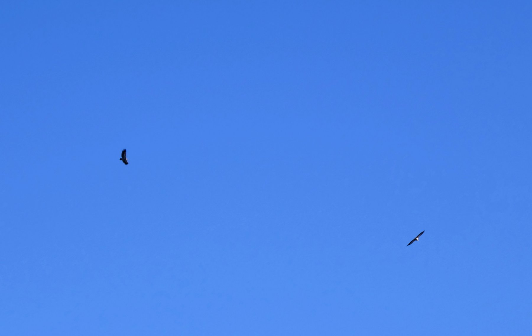 Coppia di aquile in volo