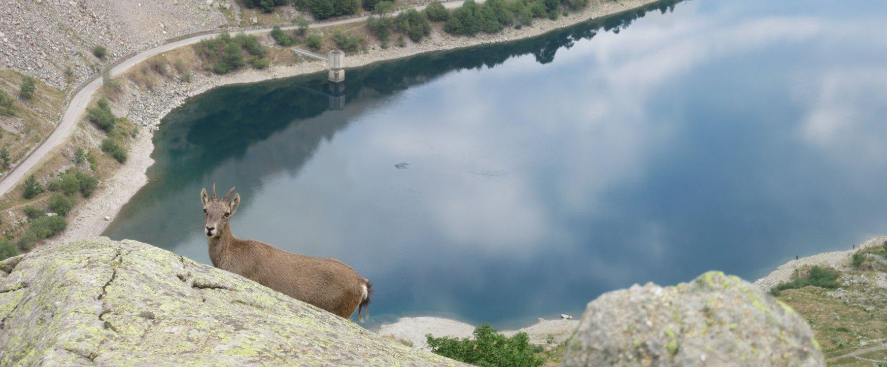 Stambecco e il Lago della Rovina