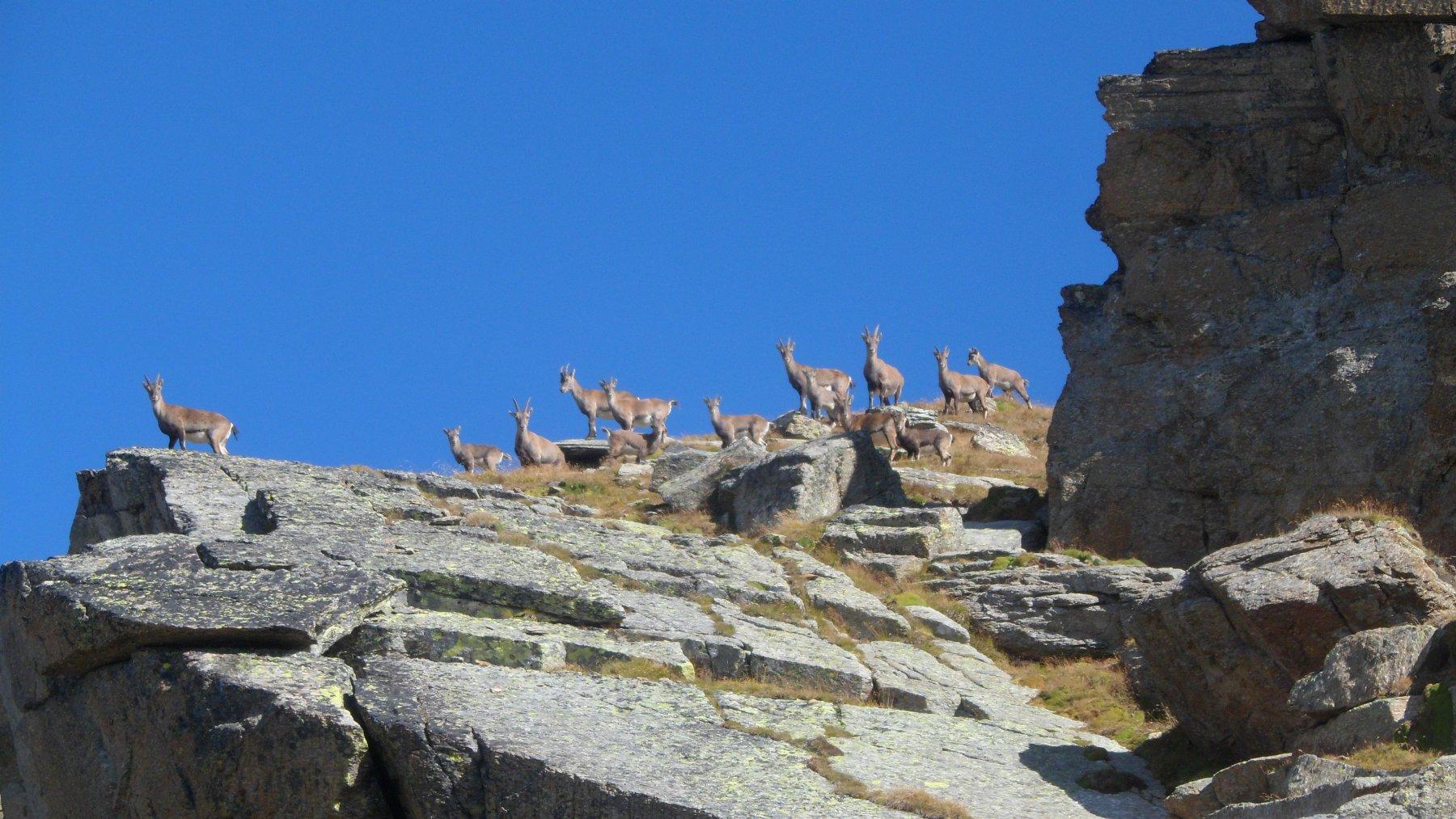 Stambecchi visti dal colle della Terra Fertà