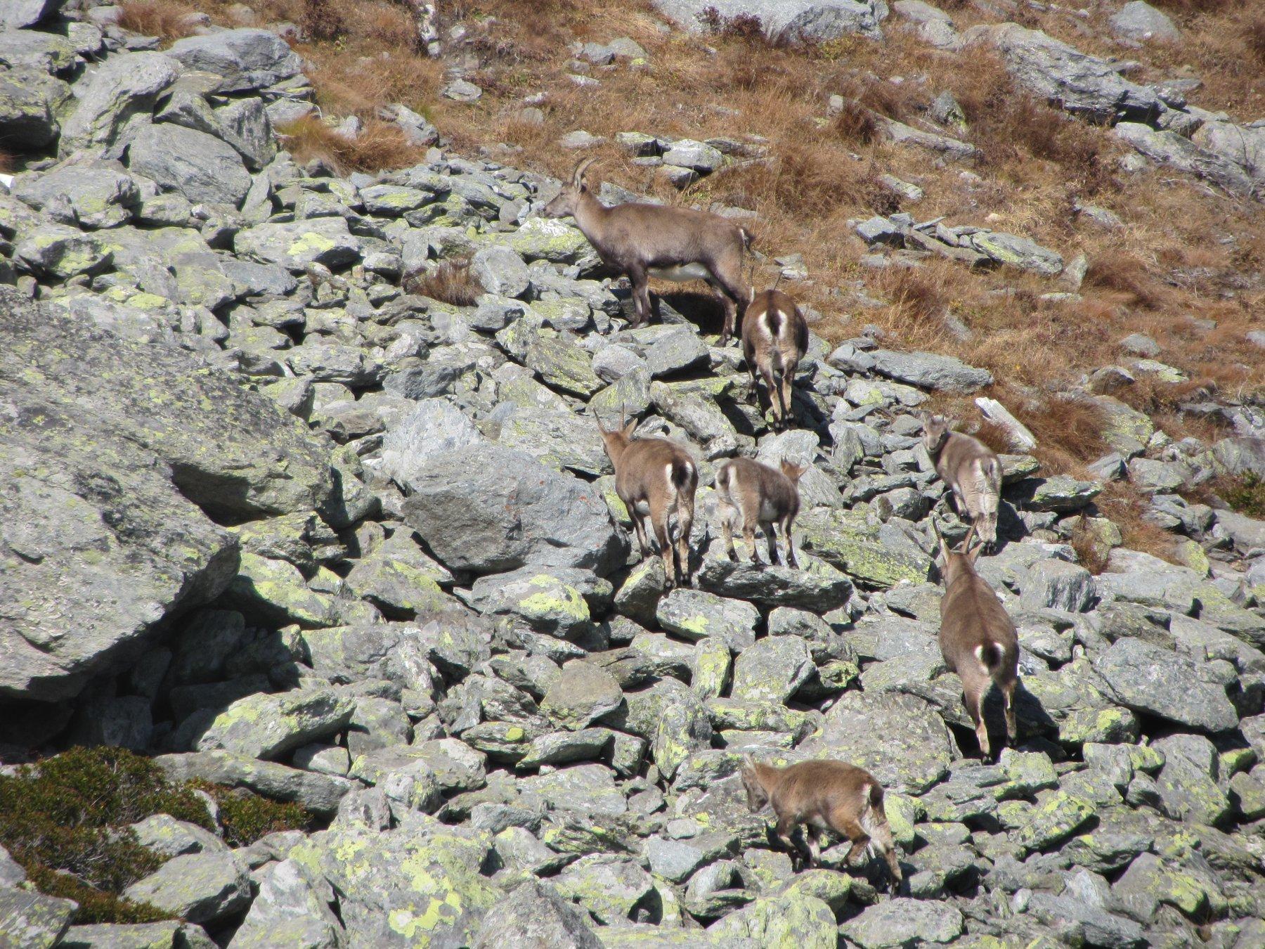 Stambecchi: femmine con i piccoli