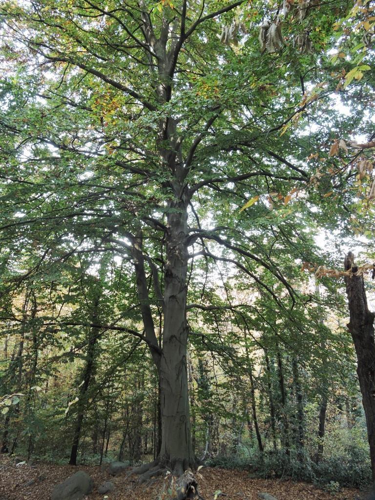 Uno dei caratteristici faggi della riserva naturale