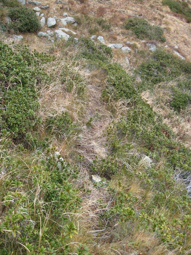 lieve traccia su rododendri appena dopo gli alberi spogli