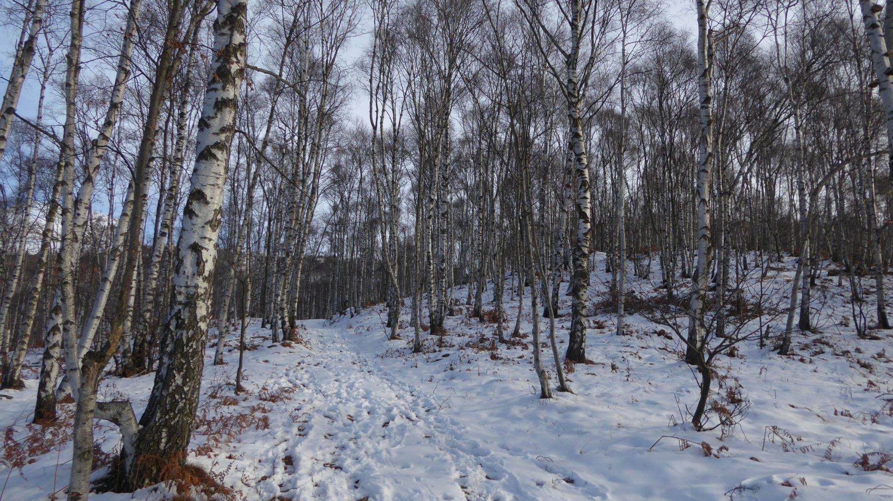Salendo nel bosco di betulle