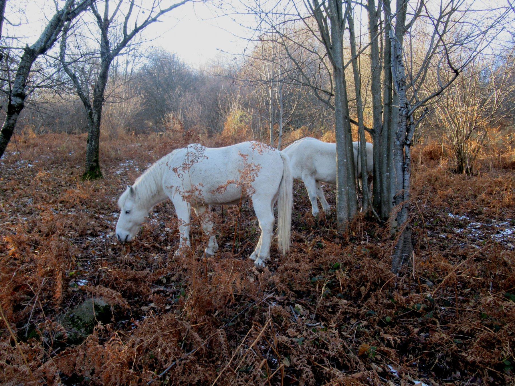 Cavalli sotto l'Alpe Vedabia