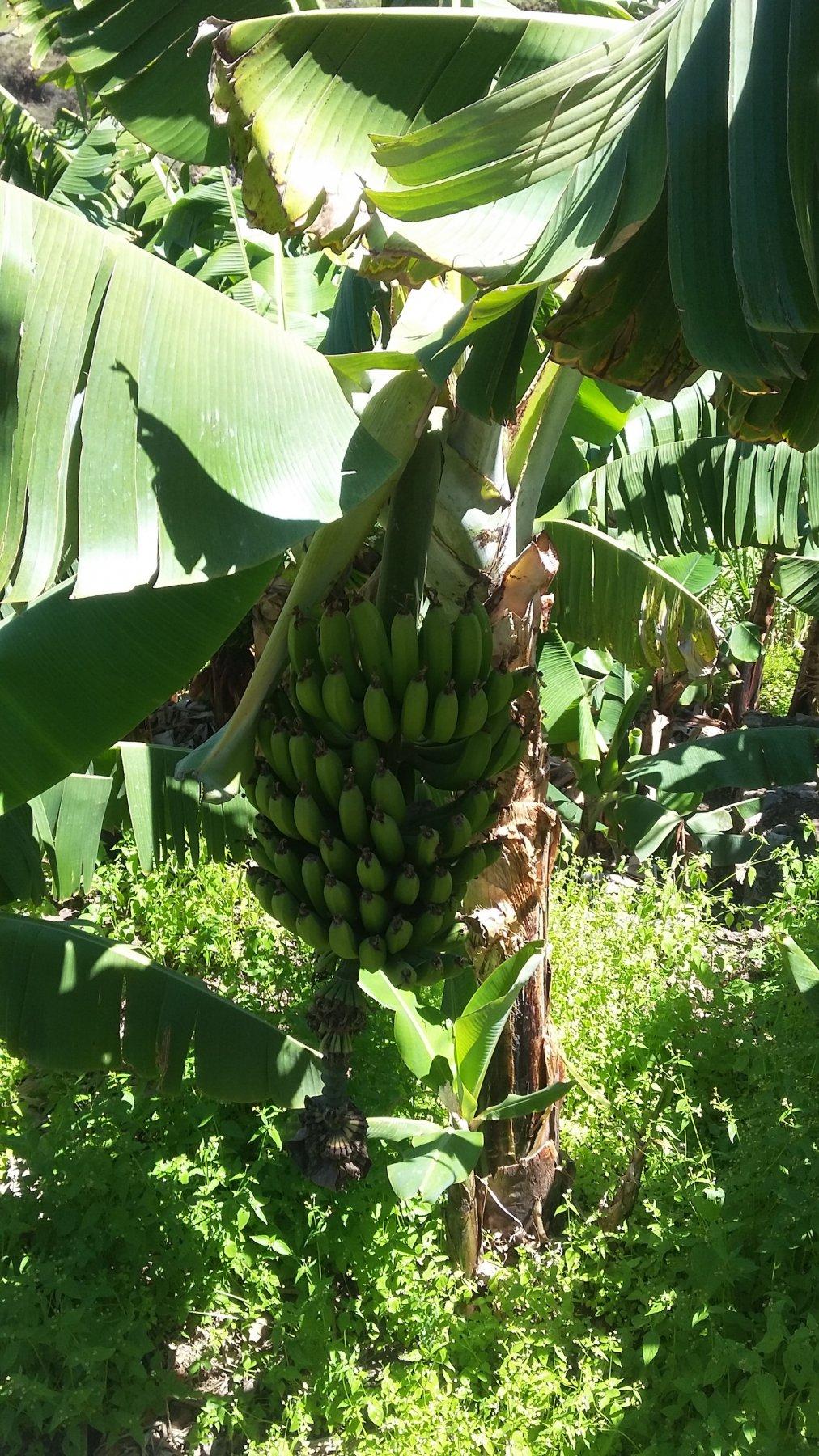 banane quasi mature