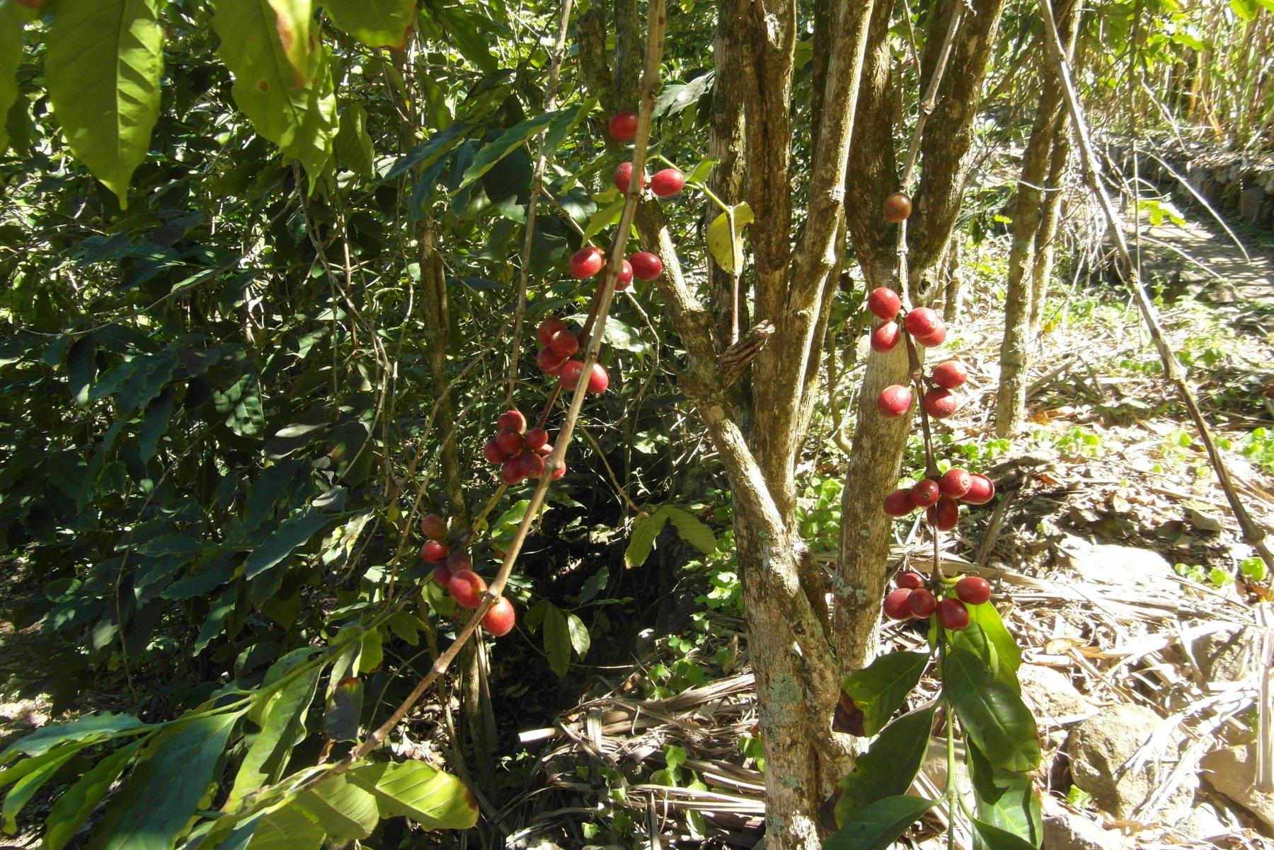 piante di caffè